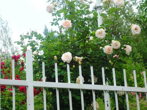 backyard with roses