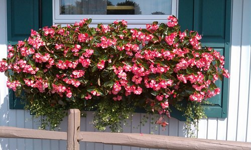 begonias window boxes