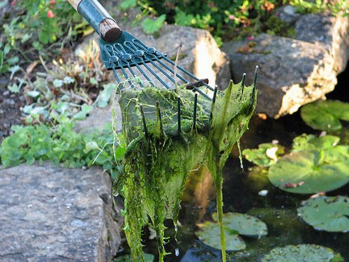 Blanket-weed-algae-in-ponds