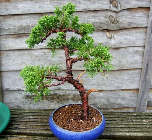 bonsai-tree234