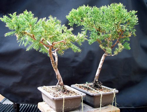 bonsai-tree235