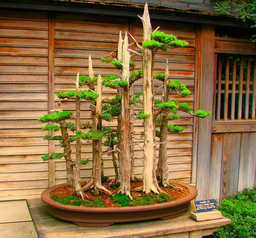 bonsai-tree236
