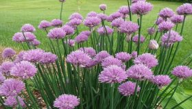 Garden Chives – Tasty Herbs In The Kitchen