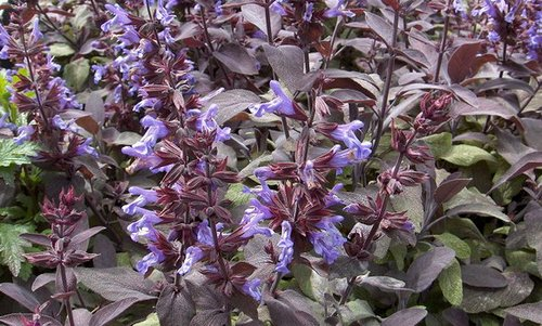 Common-Sage-flowers