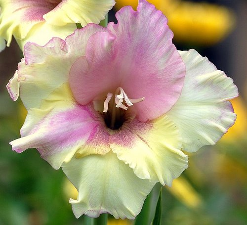 gladiolus-plants-flower