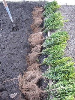 hedge bare-root