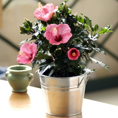 hibiscus potted