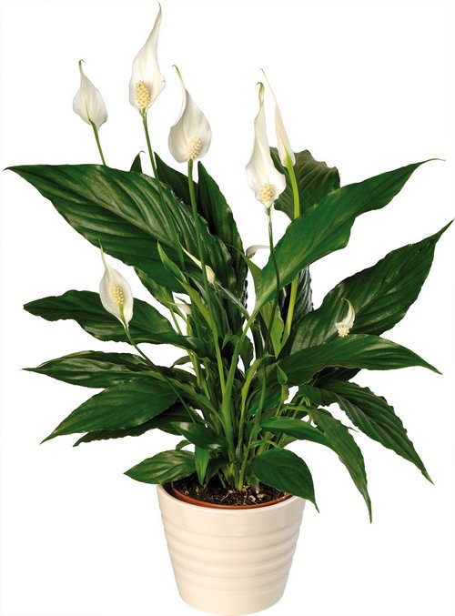 Indoor Peace Lily