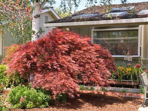 japanese-maple-acer-red