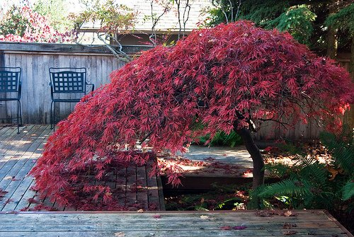 japanese maple backyard