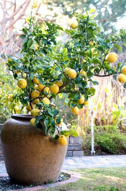 lemon-tree-container-large