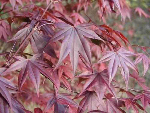 maples-bloodgood purple