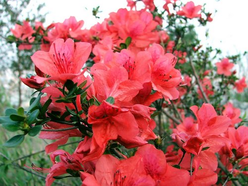 Red-Azalea-shrub