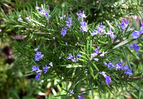 rosemary-officinalis-blue