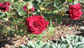 Rose Gardening Soil Preparation