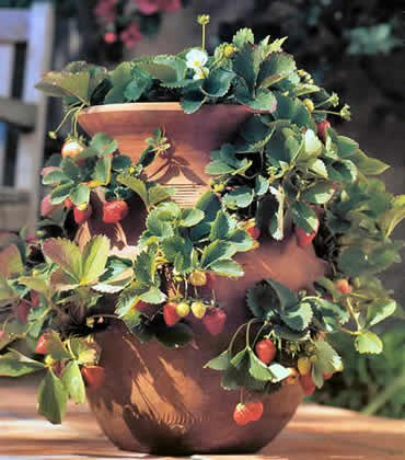 strawberry-in-pot