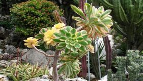The Aeoniums – Beautiful Winter Succulents