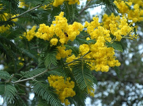 Outdoor Plants Acacia