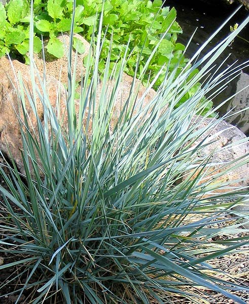 Garden plants grasses for Spiky ornamental grass