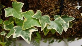 House Plants – Hedera (Ivies)