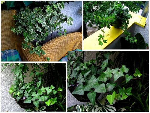 hedera-in-home