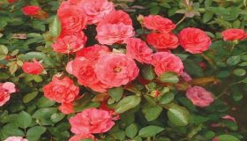 Choose Specific Types Of Roses For Your Garden
