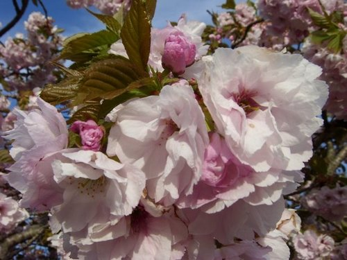 Prunus flowers