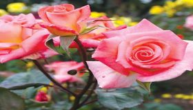 Rose Gardening In Early Spring