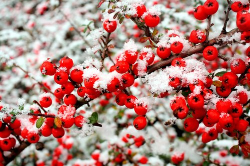 snow-and-berries