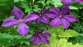 Clematis – Proper Pruning Guide