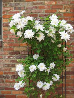clematis-white