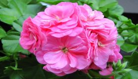 Outdoor Plants: Pelargonium (Geranium)