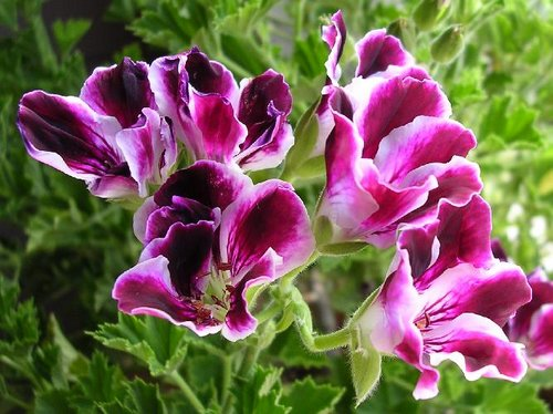Pelargonium-regal