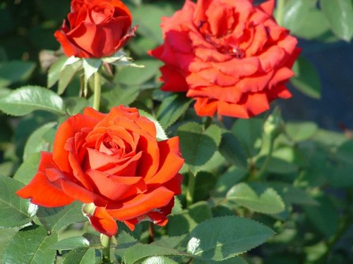 Attrayant Whether To Plant Red Roses, Yellow Roses, Rose Vines, Rose Bushes, Or  Climbing Roses Are Just A Few Of The Choices You Will Need To Make When  Planning Your ...