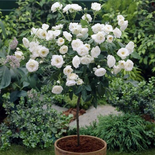 White Rose Bush Types A well designed rose garden