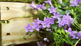 Outdoor Plants – Campanula