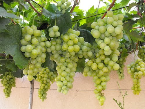 Grapes Plant Images Images Galleries