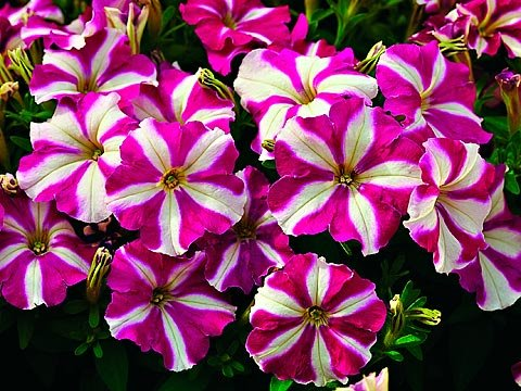 Choose flowers for window boxes for Easy to care for perennial flowers