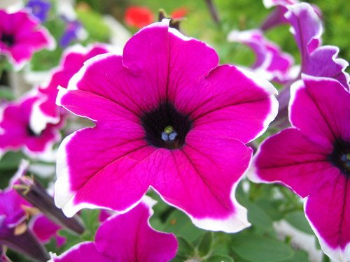 petunias  .coolgarden, Natural flower