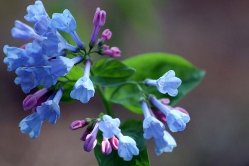 Virginia bluebell1