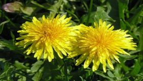 Dandelion – Popular Edible Weed