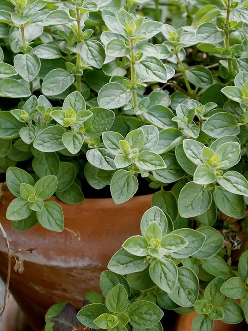 greek-oregano