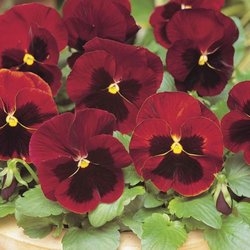 pansy-red