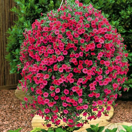 If Container Growing Petunias Fill A Pot With Organic Potting Soil And Place Or Hang In Spot Full Sun Good Air Circulation