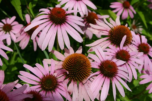 purple coneflower1