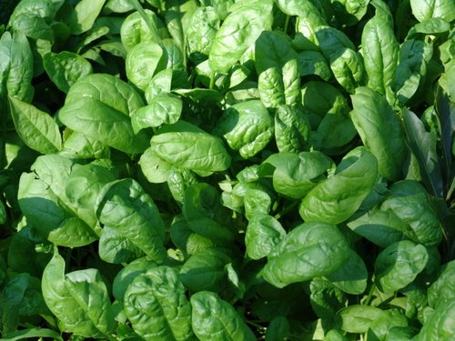 spinach-in-garden