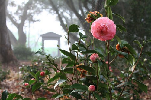 camellias1