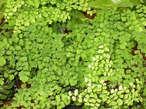 Delta Maidenhair