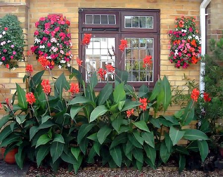 Canna Plant In Containers