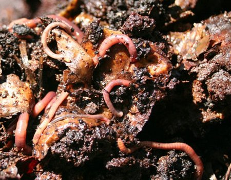 worms-compost